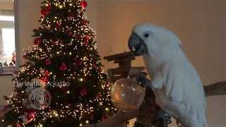 Cockatoo Celebrates Holiday Season With a Drink - Video