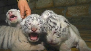 Four Rare White Tiger Cubs - Video
