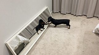 Baffled dachshund doesn't understand reflection leading to adorable stand off - Video