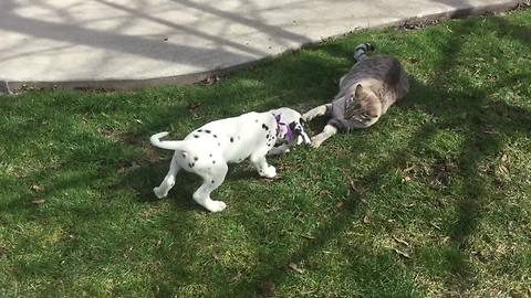 Dalmatian puppy tests limits of cat's patience