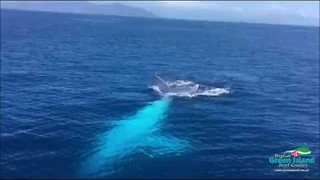 Rare White Humpback Whale Spotted In Great Barrier Reef - Video