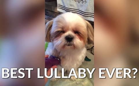 This Shih Tzu Compilation Will Renew Your Love For This Breed!