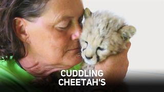 Cheetah love: a race for survival - Video