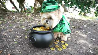 Munchkin the Teddy Bear celebrates St. Patrick's Day - Video