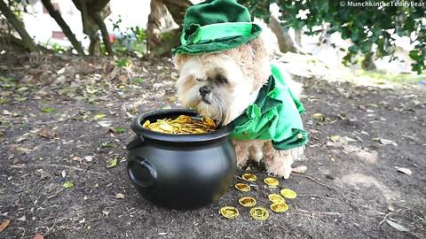 Munchkin the Teddy Bear celebrates St. Patrick's Day