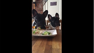 Fussy Frenchies refuse to eat their veggies - Video