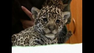 Baby Jaguar Cubs - Video