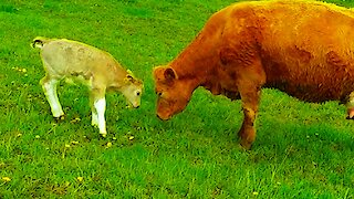 Loving mother cow plays with newborn calf, then nursers her