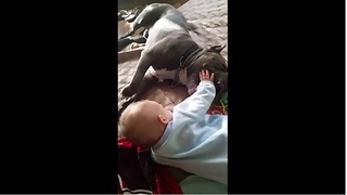 Pit Bull gently entertains baby best friend - Video