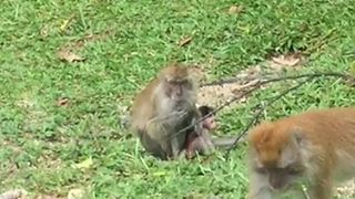 Tiniest Newborn Monkey Being Coddled By Its Mom! - Video