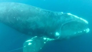 Whale Rescue: Watch Drowning Whale Being Saved By Brave Fisherman - Video
