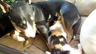 Dog produces milk for 6 months to feed kitten - Video