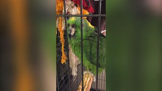 Parrot Parent Laughing Circle - Video