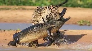 Jaguar Attacks Caiman Crocodile - CLOSE UP FOOTAGE - Video