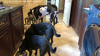 Great Danes have their doggy friends over for breakfast