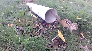 Chipmunk finds refuge in drain pipe from circling hawk - Video