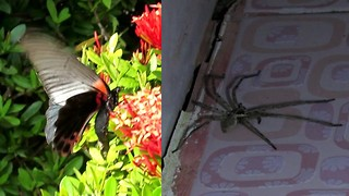 ''Beautiful'' huge butterfly and ''ugly'' spider, Koh Phangan, Thailand