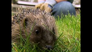 Hedgehog Fact File - Video