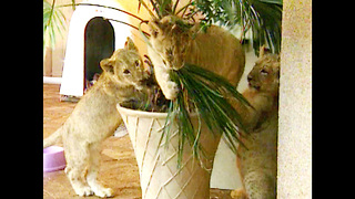 Family Live With Lions - Video