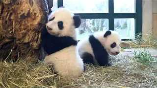 Twin Pandas Weighed in Vienna Zoo Schönbrunn - Video