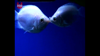 Kissing Fish - Video
