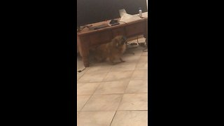 Chihuahua finds clever way to scratch his back
