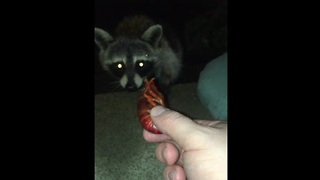 Young Raccoon Will Eat Any Type Of Food In Front Of Him  - Video