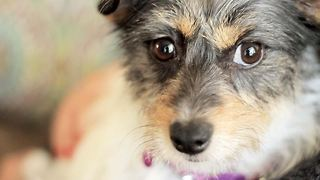 Woman Living 2,000 Miles Away Saves Injured Terrier Hit By Car