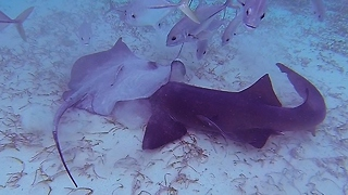 Nurse shark and stingray battle for food