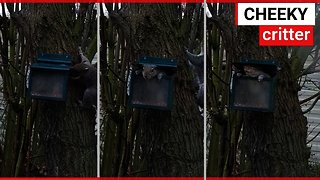 Video shows squirrel's playing 'Jack in the box'