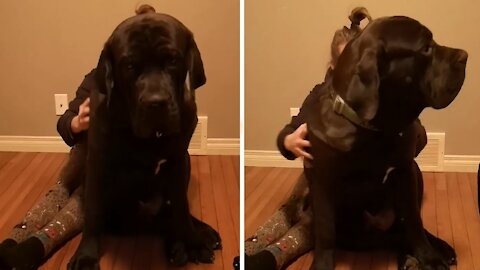 Gigantic dog protests the moment massage is stopped