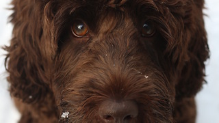 Labradoodle Puppy Stealing his Bag of Bones - Video