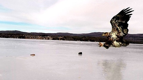 GoPro footage displays eagle hunting fish from frozen lake