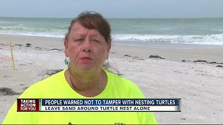 Tourists warned not to tamper with nesting turtles on Anna Maria Island - Video
