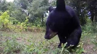 Family of Black Bears Take Interest in GoPro - Video