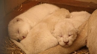 Rare White Lion Cubs