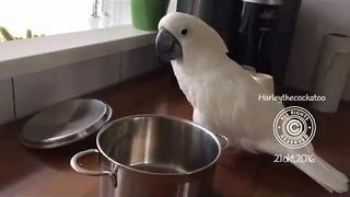 Musical Cockatoo Shows a Talent for Percussion - Video
