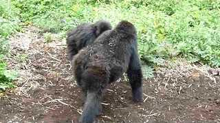 Gorillas Playfully Beat Chest and Thump Ground - Video