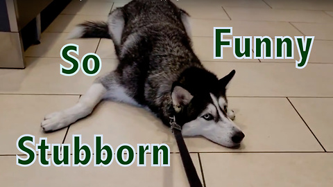 Stubborn Siberian Husky Refuses to Leave Shopping Mall