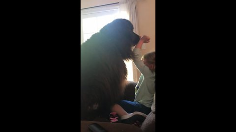 Adorable training fail for giant Newfoundland pup