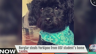 Burglar steals Yorkipoo from USF student's home - Video