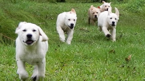 Yellow Labrador Puppies STAMPEDE