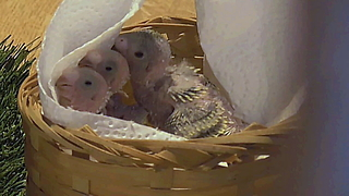 Adorable Baby Birds Are Getting Hand Fed - Video
