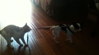 Cat Takes Control Of Dog Leash