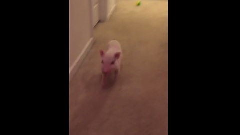 What did this energetic Mini Pig just break?