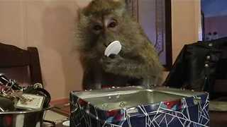Monkey Tests How Many Poker Chips She Can Fit in Her Mouth - Video