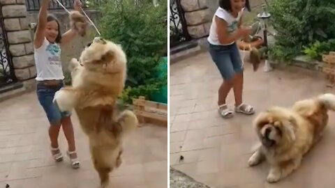 Clumsy doggy hilariously falls backwards during playtime
