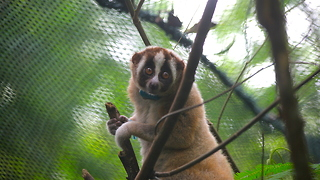 Record Number Of Slow Lorises Returned To Wild: WILDEST ANIMAL RESCUES - Video