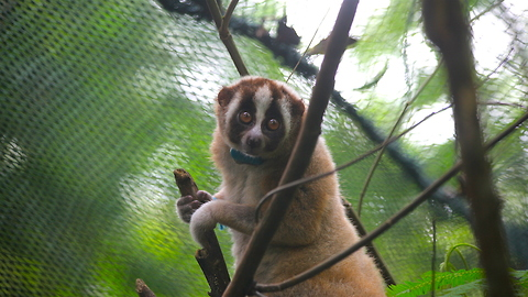 Record Number Of Slow Lorises Returned To Wild: WILDEST ANIMAL RESCUES