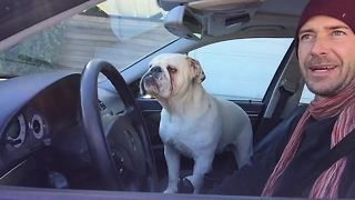 English Bulldog makes his rounds for neighborhood watch - Video